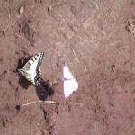 Gothic Butterflies